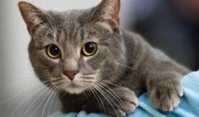 Короткошерстная европейская кошка