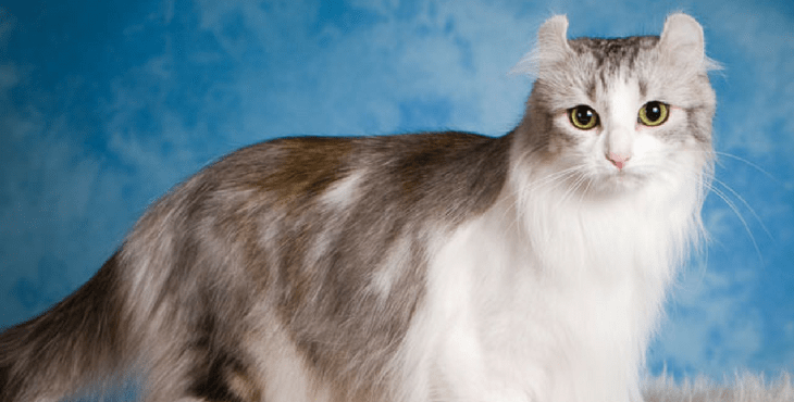 Кошка длинношерстный американский керл